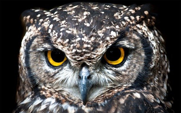 spotted-eagle-owl-3003320_640.jpg