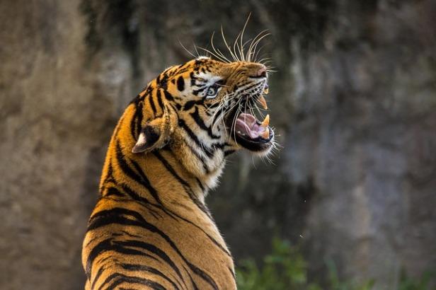 tiger-3264048_640.jpg