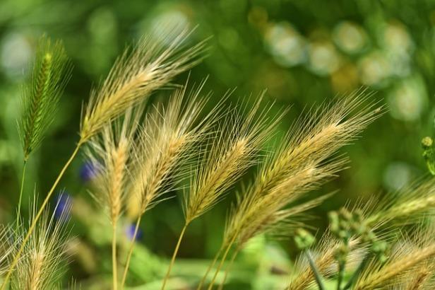 foxtail-barley-3471611_640.jpg