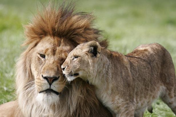 lion-3472776_640.jpg