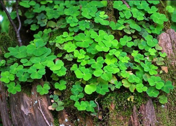 forest-clover-349975_640.jpg