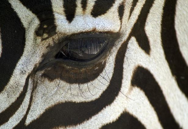 zebra-84073_640.jpg