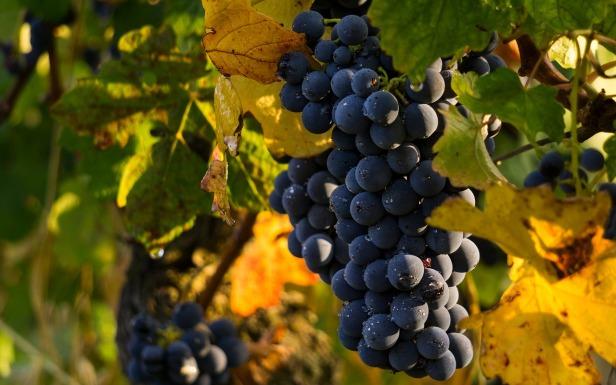 grapes-4290308_1280.jpg