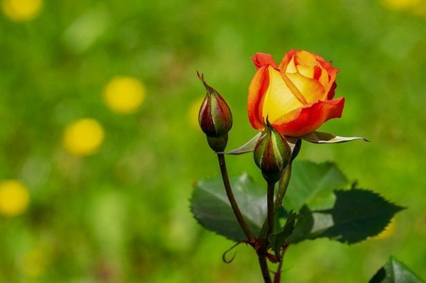 rose-3431316_640.jpg
